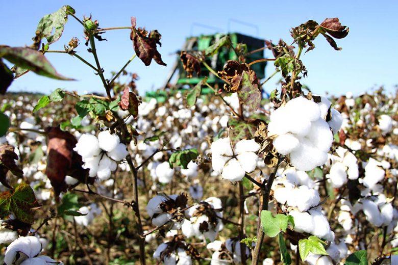 algodão-umuarama