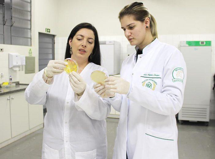 Pesquisa da Unipar busca identificar doença em rebanho bovino da região entre Brasil e Paraguai