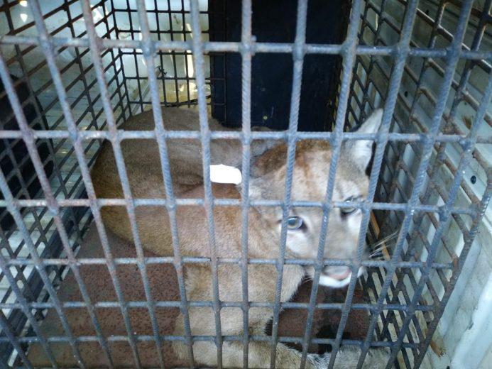 Puma encontrado dentro de casa é solto no Parque de Ilha Grande