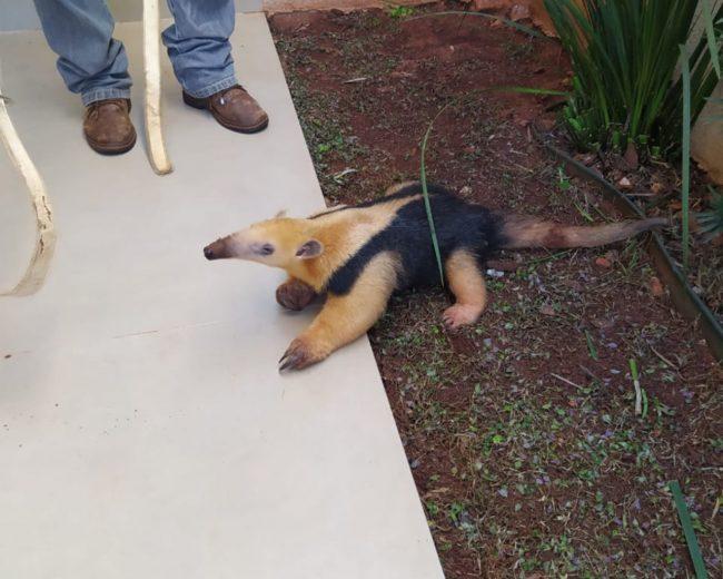 Tamanduá-mirim vai parar em residência em Pérola e é resgatado
