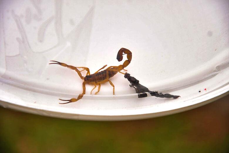 Equipe da Vigilância Ambiental recolhe escorpiões na região do Detran